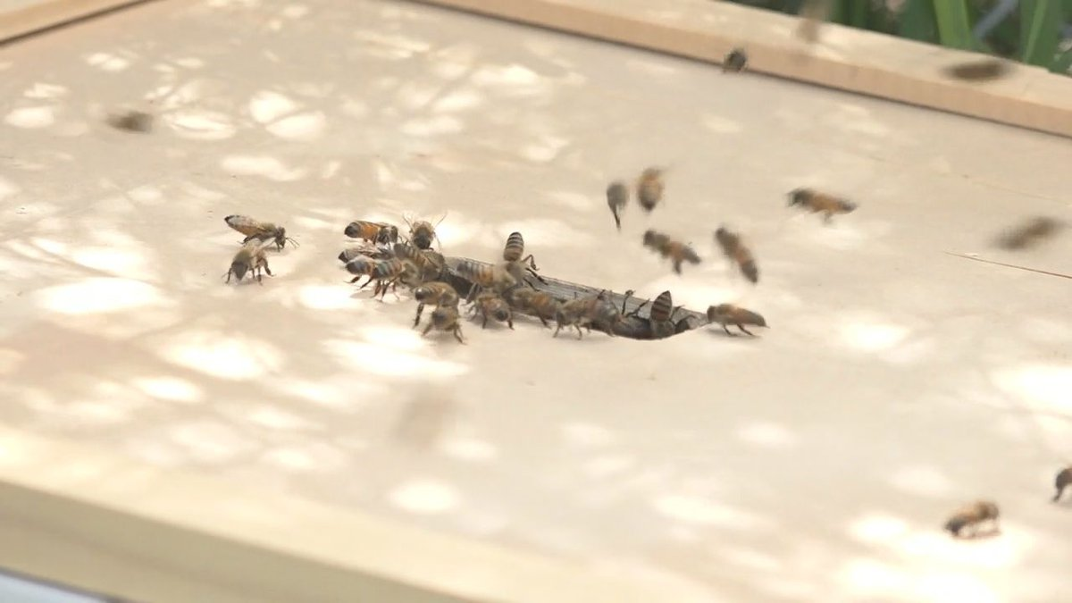Rapid City Council's approval on the bee resolution will help make more pollinator patches...