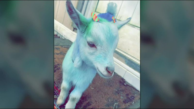 Woman facing felony charges after taking goat and dying its coat blue and green.