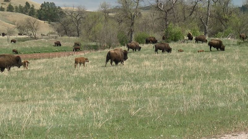 The Buffalo are one of Custer State Park's top attractions