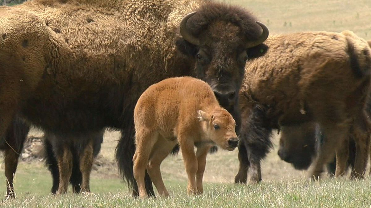 The bison herd at Pe Sla is a little bigger now with the addition of five calves. (KOTA TV)