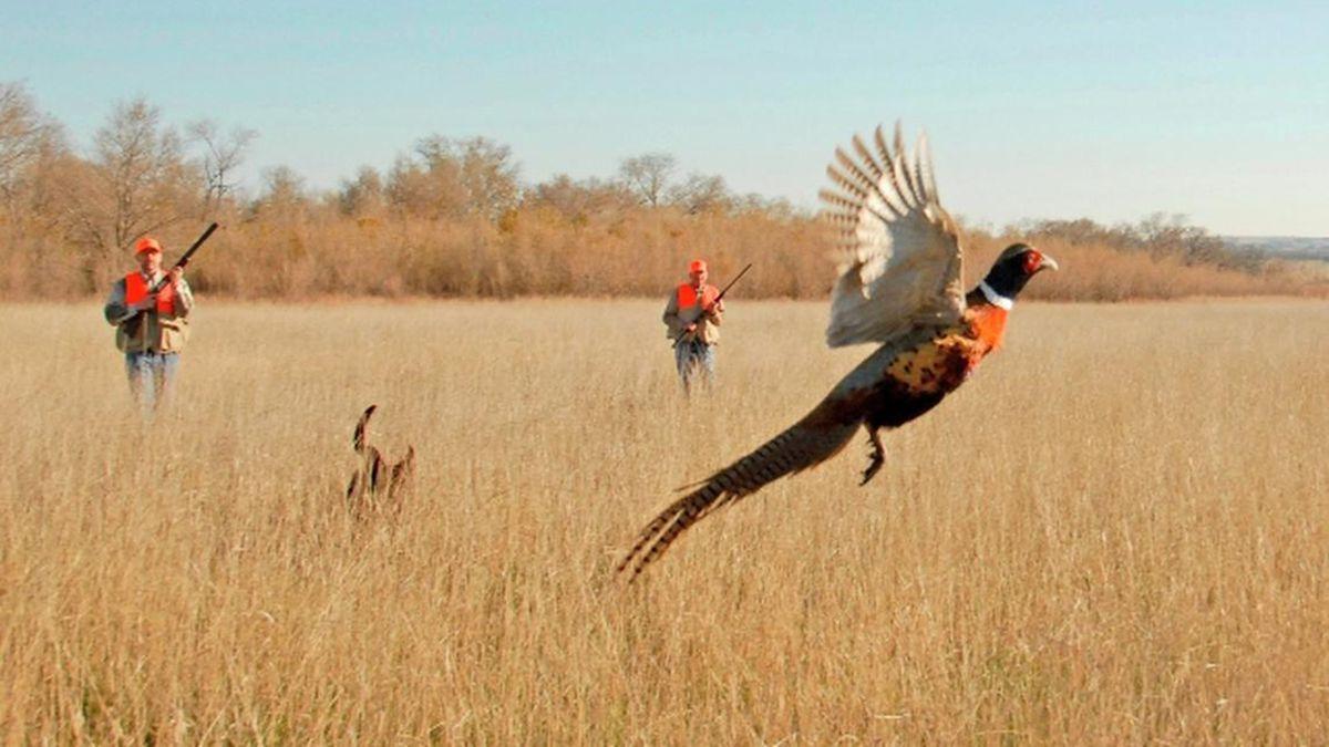 South Dakota pheasant count down as season nears