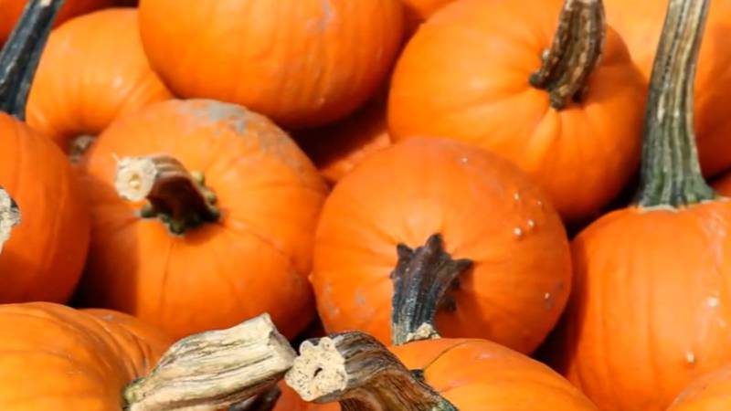 Free pumpkin giveaway at the Harvest festival