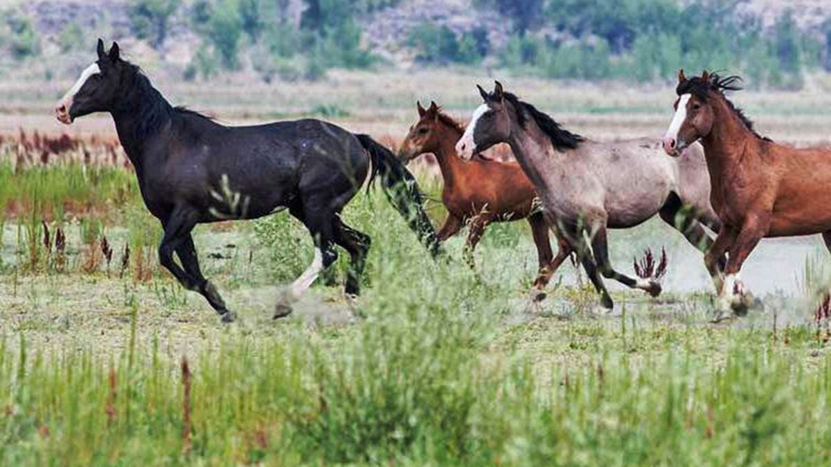 Wild horses on federal land. (Bureau of Land Management)