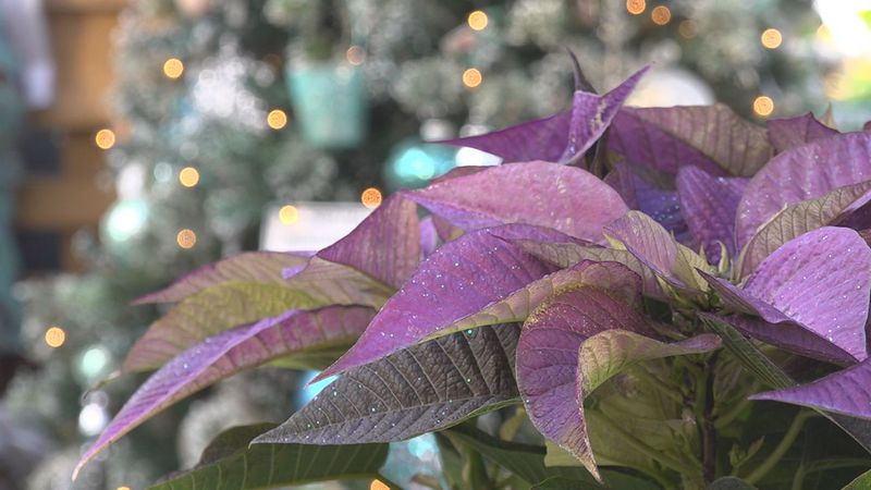A purple poinsettia.
