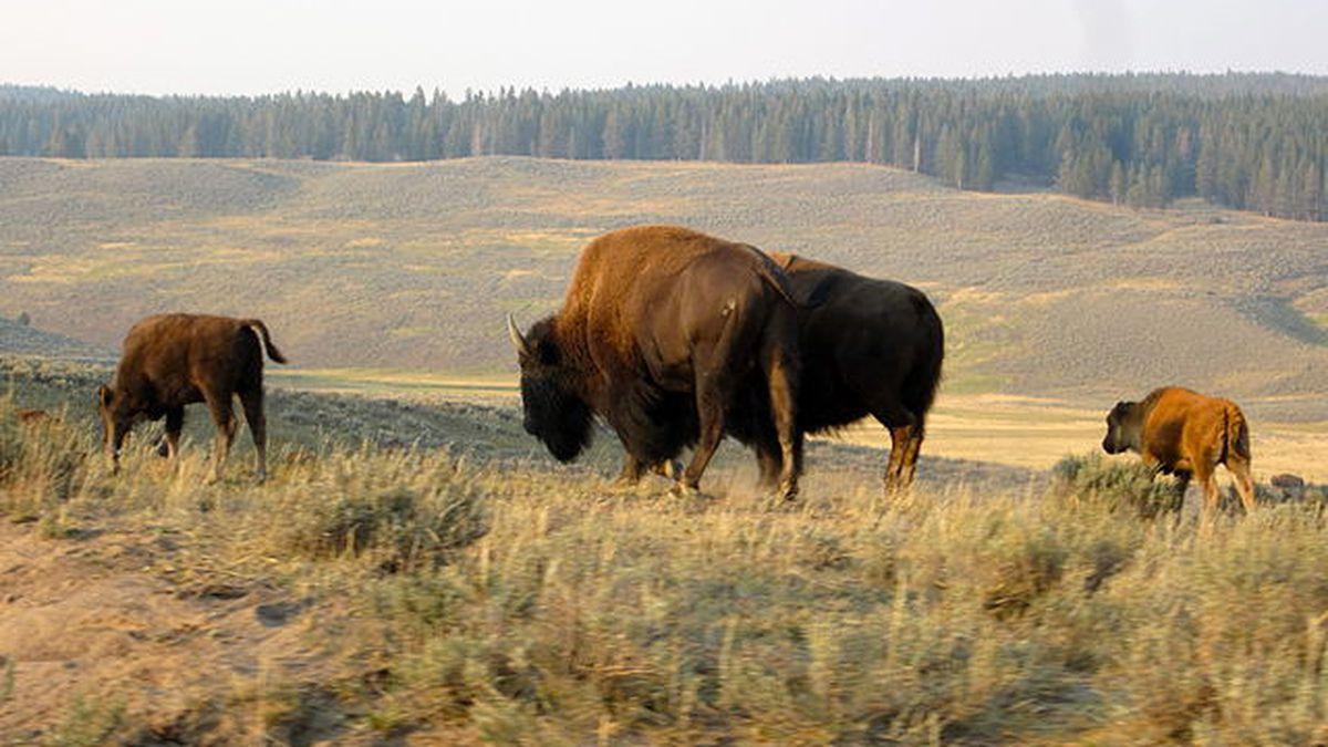 Bison in Yellowstone National Park, Wyo. (Wikimedia Commons)
