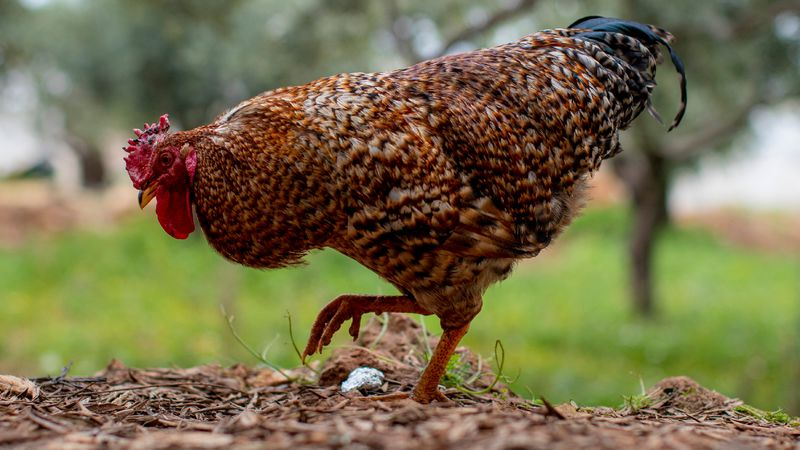 Tyson says it tried out a new kind of rooster and the breeding birds aren't living up to their...