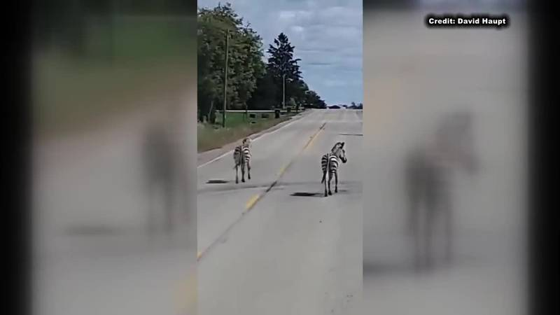 Outagamie County releases audio of 911 call which reported zebras running loose in Seymour