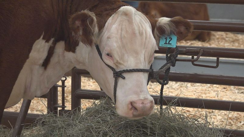 Like so many other events, stock shows across the nation had to cancel or find a new way to...