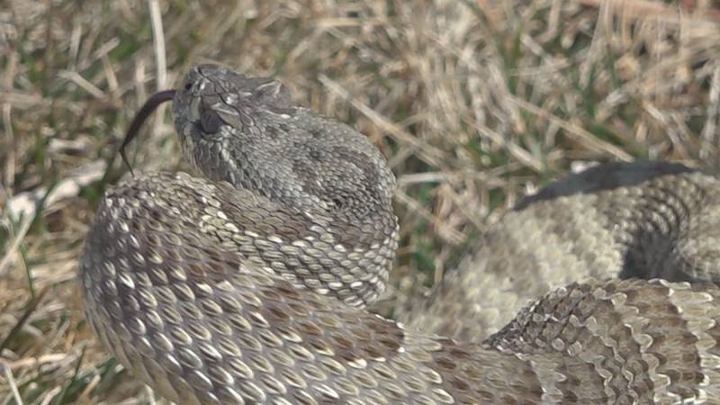 South Dakota is home to only one venomous snake and its offspring is joining the world right now.