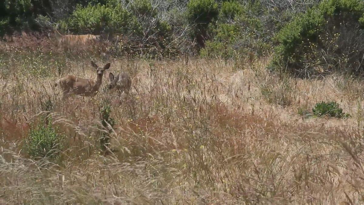 Deer in a field eating